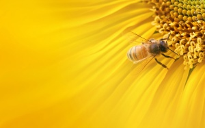 Free-Honey-Bee-Wallpaper-Laptop-Background
